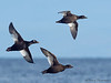 White-winged Scoters in flight