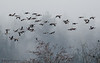 Canada Geese flying in the fog