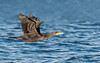 Double-crested Cormorant juvenile in flight