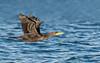 Double-crested Cormorant juvenile in flight