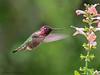 Anna's Hummingbird nectaring