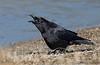 Northwestern Crow calling