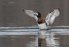 Greater Scaup female wing-flapping