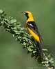 Hooded Oriole (on Ocotillo)