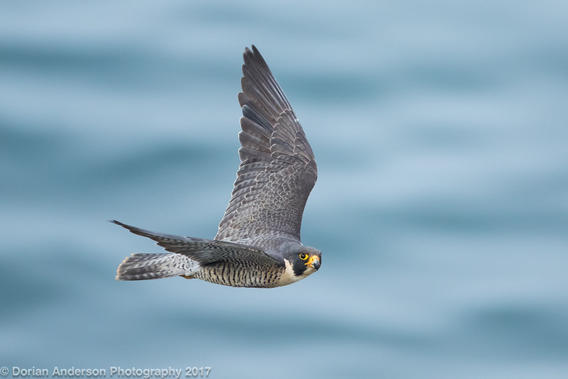 Peregrine Falcon (5 in series of 6 of this female)