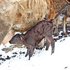 Finding the tap!  The new calf decided the snow was just fine, if it meant he could get a warm drink!  LOL