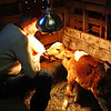 "Feeding our new little calf - Here Galen is feeding our new little calf .  We don't think she is feeling to well, after her cold trip ""home"" but hopefully she will pull out of it and get big and strong.  She drank more today than she has been...so that's a good sign.  We think we are going to call her Lily...cause she is a Guernsey and Jersey cross...and there is both a Guernsey Lily & a Jersey Lily in the flower world."