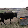 BBQ Pit - I burned down some trash yesterday, and Clover would not stay away from it.