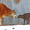 Baby Love - Daisy, greeting the new calf, and probably wishing she had milk so she could adopt him.
