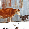 Screeching to a halt - The new calf was enjoying running back and forth up by the barn today, where the snow had melted off already.  He came to a screeching halt though, when Daisy went up to see him.<br /> <br /> I love the smile on her face...she loves babies, it's to bad she isn't in milk.