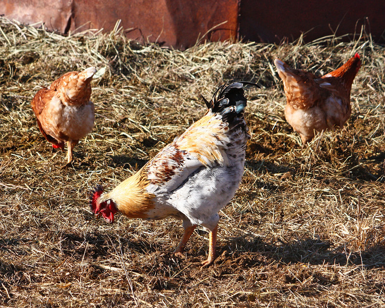 Some of our chickens - The chickens love to hang around the cows...they find the yummiest things where the cows have been.  (Yuck!)
