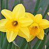 "The Daffy's are back!!  My Daffodil's are blooming already!  The grass is greening up...still has a long way to go, but there are green patches...the willow tree is starting to change color, like it does just before the leaves come out on it...the lilacs are getting leaves...our red bud tree is starting to get it's ""buds""...and I'm sure there are many other signs of spring out there...best of all are the singing frogs in the creek! It's spring!!!  :-))"