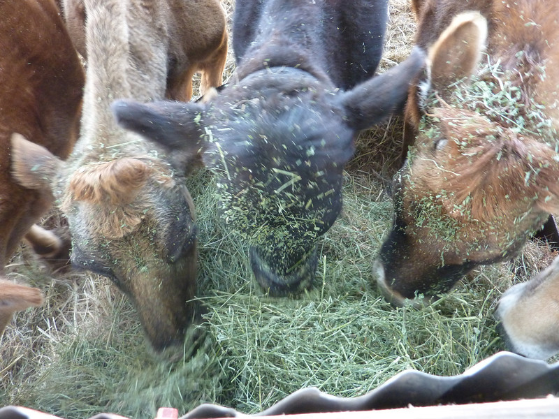 Dig on In - The cows dug in after I caved and gave them some alfalfa.