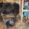 "Clover, Being Milked....It's impossible to use the cart to take the milker out, and the sled slides around too much, so I now just wrap the milker in a trash bag, and carry it out to the barn. Clover is hooked up to it, happily munching away on her breakfast. Yes, that blue thing she has her head in, is a ""sow feeder"". It works perfectly."