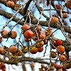 Dad's persimmon trees are loaded this year!  They are always small and full of seeds, so not sure what besides Jelly I could do with them at this point...and not sure if I'd LIKE persimmon jelly, but one of these days I may have to find out!  :-))