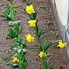 New Daffies! - The Daffies that hubby planted for me last fall are blooming now!  Can't wait till they get more established, but it's so good to finally see some flowers blooming here!  :-))