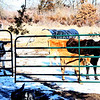 Saying goodbye - The cows at the gate, saying Goodbye...it will be rather noisy around here a few days I'm sure, but maybe not as long as it will be over at the Amish home, the calf is going to...they will get to enjoy her crying for her Mom for a bit longer, since she is now being weaned!  :-))