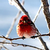 The birds are out in force! - The finches (and a couple cardinals) have been visiting our feeders and trees this morning in force!  With the snow covering everything I guess they decided to fight over our feeder.  LOL