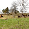 Wishing and dreaming... - The cows and horse were all wishing we would come let them out into the pasture we were walking in today...it has more grass in it, than the one they are in, but we are trying to let it grow a bit more before they get to enjoy it.  LOL