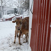 Let Us IN! - Daisy is nursing the baby boy while peeking around the corner of the barn. The boy sleeps inside at night. He was all excited to get out of his pen. His excitement turned sour when he hit the open door, and the snow pelted him! He wanted back inside - even before he had breakfast.