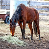 Good Stuff - The new horse liked the alfalfa I put out for her.