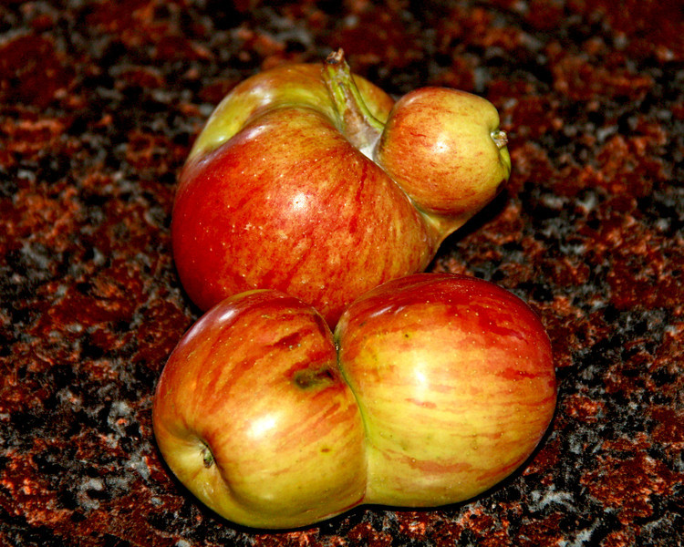 """The apples were thick this year on my parents trees.  Mom and I have been making apple sauce...and I thought these two """"apples"""" were strange, but interesting!   They were to close together, so grew together."""