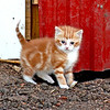 Oldest kitten - This is the oldest kitten we have around here...We think all three of our female cats have finally had kittens...this one's mother has been with us for several years and this is the first batch she had...only one lived, probably cause she had them in the wrong spot...outside, and something got them or the weather did.
