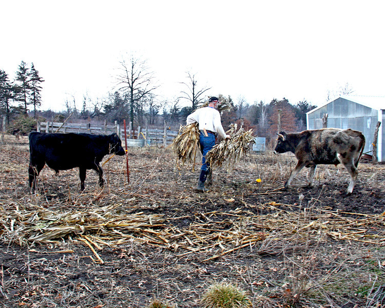 Feeding Cornstalks - One of our Amish Neighbor's gave us some corn stalks, and Galen's been feeding them to the cows, they really enjoy them.
