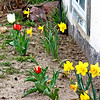 Spring bulbs - My daffies are STILL blooming, and the tulips are starting to also!
