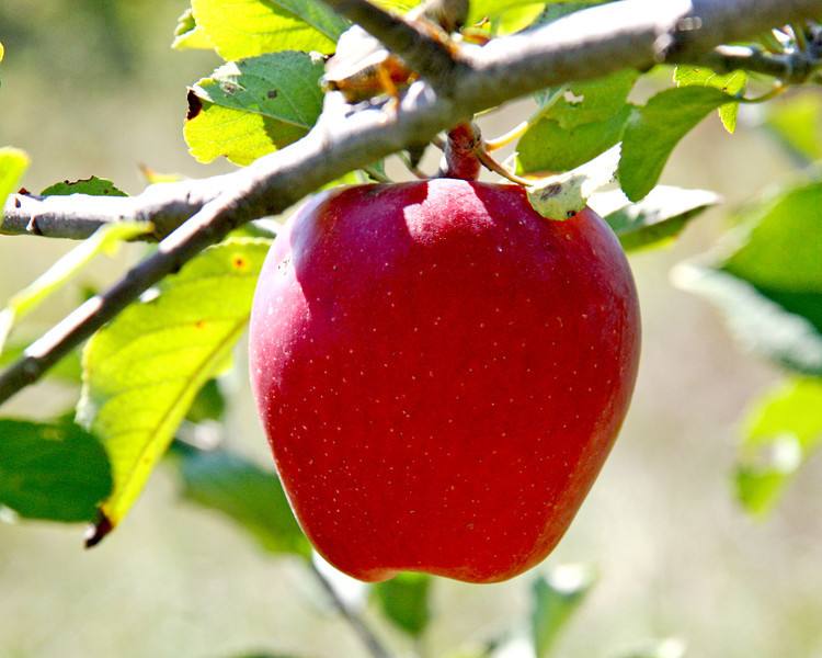 Our best red delicious apple on the tree...there were only 5.  LOL