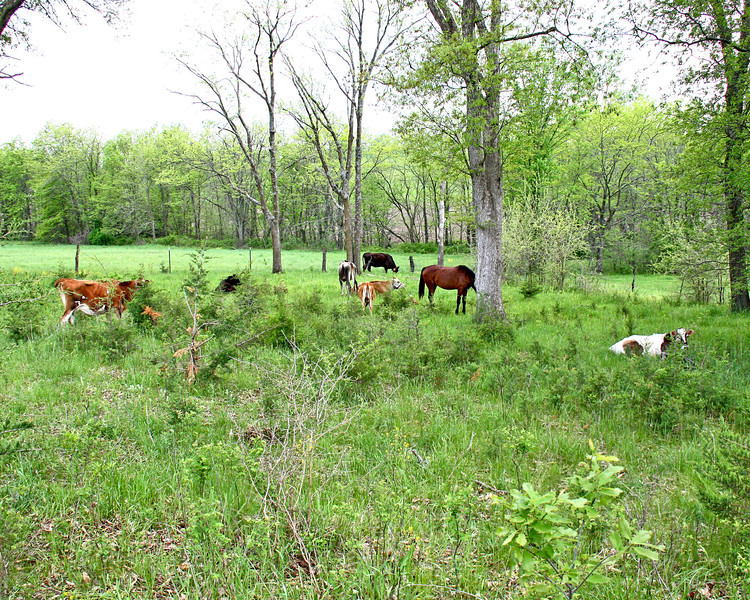 Cows and horse in the pasture - Galen moved the cows and horse to the back pasture today.