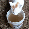 """Gosh, I'm Thirsty! - Gideon and the other cats like to """"nip"""" at the wash water from the cows every morning. The water is colored by some molasses in it."""