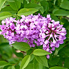 We have lilacs! - Our lilacs are blooming!  It's STILL funny, how I didn't know we had any here at our new farm till this spring...I SHOULD have, cause thats one thing I looked for, but for some reason didn't identify those bushes last year.  Sure glad running over them several times didn't hurt them.  LOL