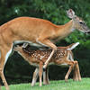 Deer nursing on the tee box on the cobb coarse during the Greenbrier Classic pre-qualifer.<br /> Rick Barbero/The Register-Herald
