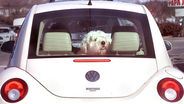 Rumble Seat=This watchful Sheepdog keeps an eye on the flank as his owner cruises down Robert C. Byrd Drive on Wednesday afternoon.  F. Brian Ferguson/The Register-Herald
