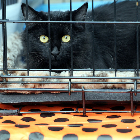 A black cat from the Greenbrier County Humane Society gave a Halloween feel to the Taste of our Town festival in Lewisburg on Saturday. F. Brian Ferguson/The Register-Herald