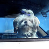"""As Cute as a .... Waiting patiently for her owners return, """"Button"""" was sitting pretty at the I-64, I-77 rest area, near Tamarack on Tuesdat morning. F. Brian Ferguson/The Register-Herald"""