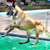 """""""Frisco,"""" a Belgian Malinos, takes a plunge into the New River Pool from the diving board during Tuesday's dog swim with donations going to the Raleigh County Humane Society. F. Brian Ferguson/The Register-Herald"""