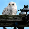 This Snowy Owl keeps a sharp eye out for prey on Tuesday afternoon high above Lewis Nissan. The Snowy Owl, which is North America's largest owl, had been spotted in various locations in Beckley this past week F. Brian Ferguson/The Register-Herald