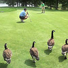 Geese line up on the par 3, 17th hole on the Cobb course at Glade Springs watching Jeff Brook, left and Jeremy Bailey during the final round of the BNI Golf Tournament. <br /> Rick Barbero/The Register-Herald