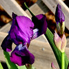 My Iris are blooming this year!!  They didn't last year, must have been a hard move for them the year before.  Just glad they are blooming for me this year.  :-))