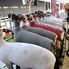 Rick Barbero/The Register-Herald<br /> Amber Watts, of Aurdra, WV getting sheep ready for showing at The WV State Fair in Fairlea.