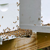 Brad Davis/The Register-Herald<br /> Busy bees come and go from one of 19 box hives on longtime beekeeper Russell Compton's property as they make honey Thursday afternoon in Mossy.