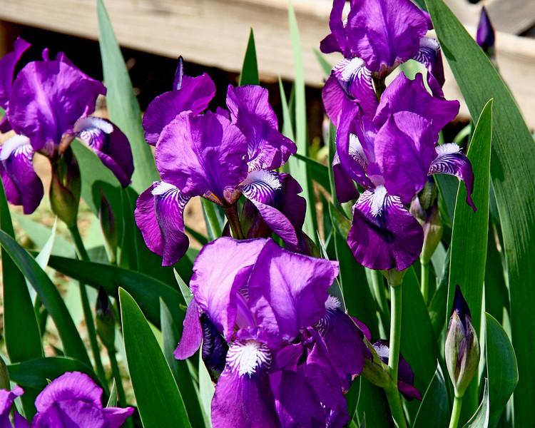 Early Iris