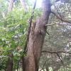 Osage Oak