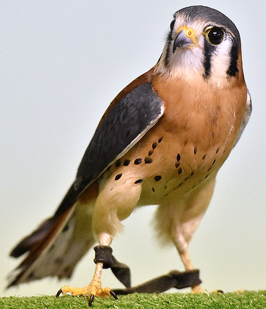 (Brad Davis/The Register-Herald) Gimli, an American Kestrel, hangs out on his perch during Three Rivers Avian Center's annual Spring Migration Celebration Saturday morning at Little Beaver State Park.