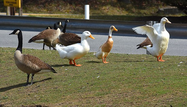 Ducks and geese in a pond at Woodrow Wilson High School.<br /> (Rick Barbero/The Register-Herald)