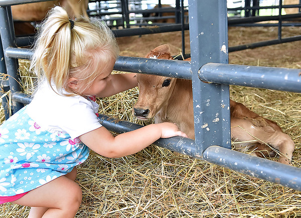 """(Brad Davis/The Register-Herald) Two-year-old Ravenswood resident Kennady Miller pets a days old calf in the """"moo-ternity tent"""" during the State Fair Friday afternoon in Fairlea."""