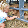 "(Brad Davis/The Register-Herald) Two-year-old Ravenswood resident Kennady Miller pets a days old calf in the ""moo-ternity tent"" during the State Fair Friday afternoon in Fairlea."