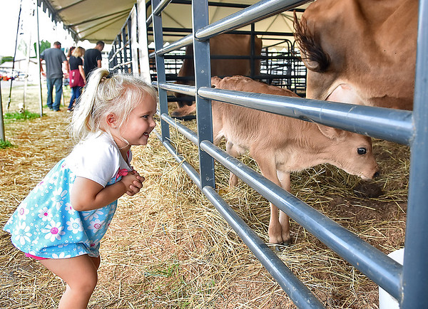 "(Brad Davis/The Register-Herald) Two-year-old Ravenswood resident Kennady Miller is all kinds of thrilled as she watches a days old calf in the ""moo-ternity tent"" during the State Fair Friday afternoon in Fairlea."